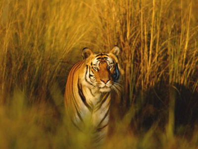 Nature Smart: The Bengal Tiger