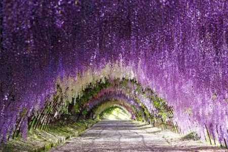 Tips to Enjoy the Kawachi Fuji Garden